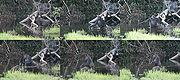 Samice gorily používá klacek na zjištění hloubky.