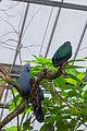Goura cristata (Goura couronné) - Caloenas nicobarica (Nicobar à camail) - 367.jpg