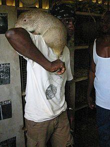Cane Rat Wikipedia