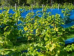 Grape plants and bird nets in Chateaux Luna vineyard 1.jpg