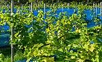 Grape plants and bird nets in Chateaux Luna vineyard 2.jpg