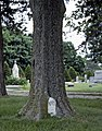 Gravestone In Tree.jpg