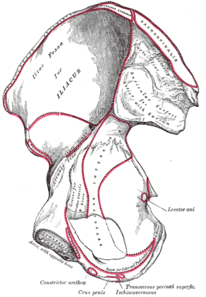 Erector spinae muscles - Image: Gray 236
