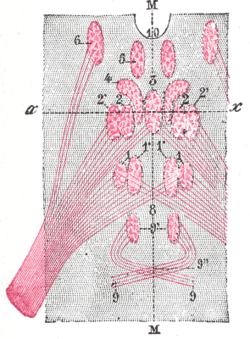 muscle diagram project edinger   westphal nucleus wikipedia  edinger   westphal nucleus wikipedia