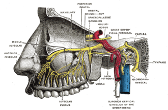 Greater petrosal nerve - Alveolar branches of superior maxillary nerve and sphenopalatine ganglion.