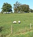 Grazing sheep - geograph.org.uk - 592908.jpg