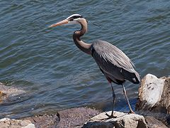 Great Blue Heron-27527-1.jpg