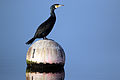 Great cormorant (phalacrocorax carbo).JPG