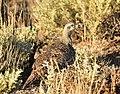 Greater Sage-Grouse on Seedskadee National Wildlife Refuge (35769986831).jpg