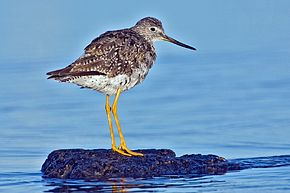 Description de l'image Greater Yellowlegs.jpg.