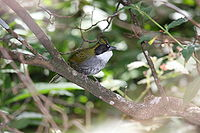 Green-striped Brushfinch