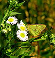 Greenish-purple butterfly.JPG