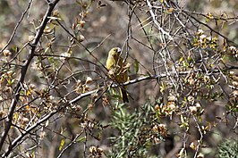 Greenish Yellow-Finch (Sicalis olivascens).jpg