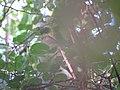 Grenada Dove (12594229124).jpg