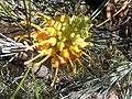 Grevillea juncifolia 3.jpg