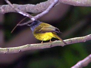 Grey-headed Canary-Flycatcher.jpg