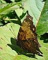 Grey Comma (Polygonia progne) - Thunder Bay, Ontario 2012-08-10.jpg