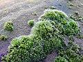 Grimmia pulvinata 107440377.jpg