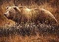 GrizzlyBearJeanBeaufort.jpg