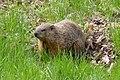 Groundhog (Marmota monax) - Montreal, Quebec 2019-05-12 (01).jpg