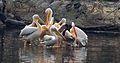 Group Of Pelicans.jpg