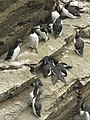 Guillemots - geograph.org.uk - 217241.jpg