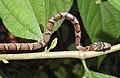 Gunther's Racer Snake Coluber gracilis by Dr. Raju Kasambe (11).jpg