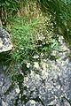 Gypsophila repens2.jpg