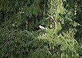 Héron cendré dans la forêt à Eekholt.jpg
