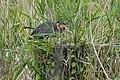 Héron pourpré (Ardea purpurea) 02.jpg