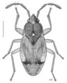 HEMI Rhyparochromidae Regatarma forsteri.png
