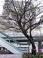 HKCL 香港中央圖書館 CWB tree February 2019 SSG.jpg