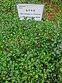 HK Park green leaves 齒葉冬青 Ilex Crenata Convexa Mar-2014.JPG