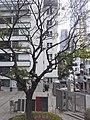 HK SW 上環 Sheung Wan Staunton Street PMQ tree Aberdeen Street February 2020 SS2 02.jpg