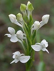 Flat White Rostellum Paint