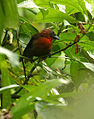 Habia fuscicauda (male) -Costa Rica-6.jpg