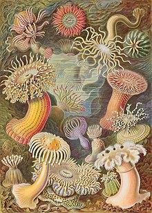 Haeckel Actiniae.jpg