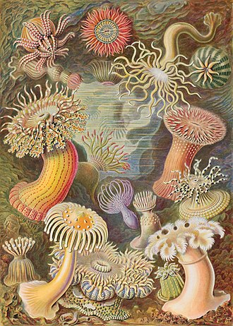 Symmetry in biology - These sea anemones have been painted to emphasize their radial symmetry. (Plate from Ernst Haeckel's Kunstformen der Natur).
