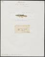 Haplochilus panchax - 1700-1880 - Print - Iconographia Zoologica - Special Collections University of Amsterdam - UBA01 IZ14800139.tif