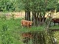 Harderbos - Schotse Hooglander (Bos taurus var. highland).jpg