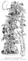 Haricot blanc géant sans parchemin Vilmorin-Andrieux 1904.png