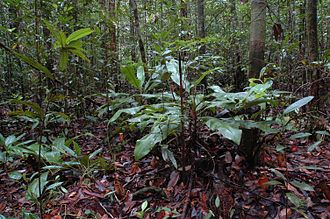 Borneo peat swamp forests - Peat swamp forest in Gunung Mulu National Park with Nepenthes bicalcarata in the foreground