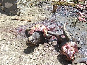 Heads of killed buffalos Tana Toraja.jpg