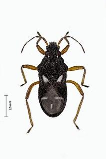 <i>Hebrus</i> (bug) Genus of true bugs