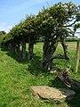 Hedge at Newham Hagg - geograph.org.uk - 453694.jpg