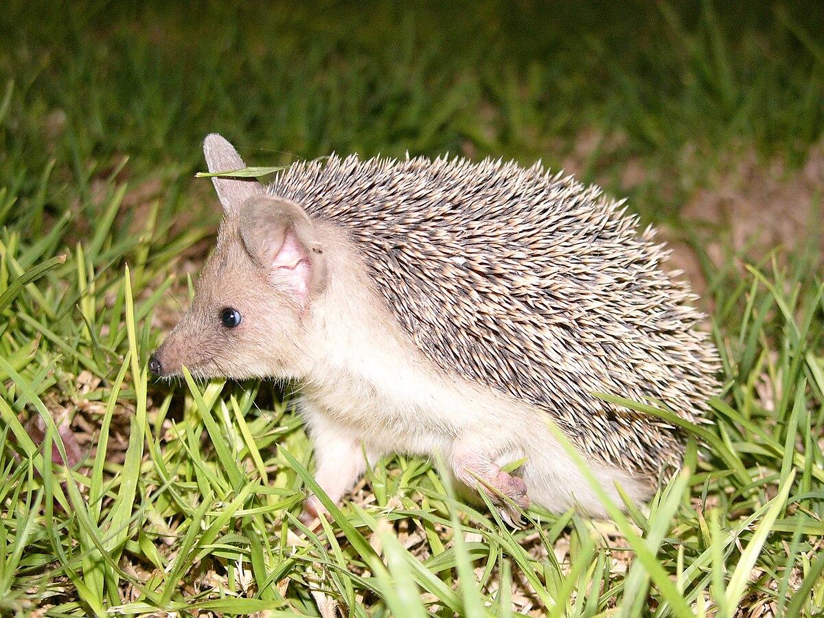 Long-eared hedgehog - Wikipedia
