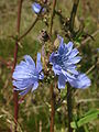 Helgoland blaue Blume 21961.JPG