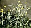 Helichrysum italicumÎled'Elbe.jpg
