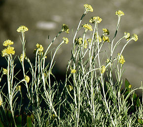 Description de l'image  Image:Helichrysum italicumÎled'Elbe.jpg .