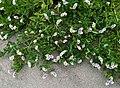 Heliotropium curassavicum Cambria CA.jpg